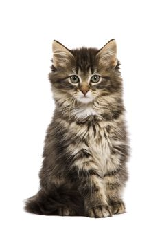 LA-5752 Cat - Norwegian Forest kitten in studio