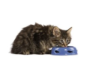 LA-5753 Cat - Norwegian Forest kitten in studio eating from cat bowl