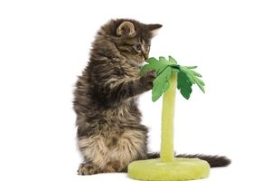 LA-5755 Cat - Norwegian Forest kitten in studio playing with a palm tree cat toy