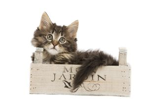 LA-5757 Cat - Norwegian Forest kitten in studio lying in wooden box