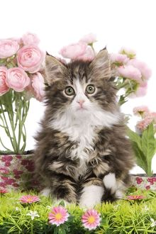 LA-5758 Cat - 8 week old Norwegian Forest kitten in studio with flowers