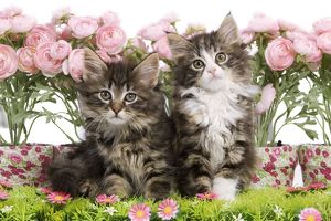 LA-5759 Cat - two 8 week old Norwegian Forest kittens in studio with flowers