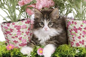 LA-5760 Cat - 8 week old Norwegian Forest kitten in studio with flowers