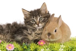 LA-5764 Cat - Norwegian Forest kitten and Dwarf Rabbit in studio with flowers