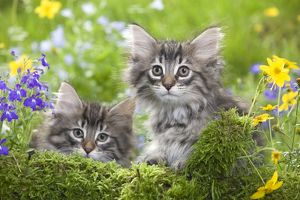LA-5781 Cat - two 8 week old Norwegian Forest kittens with flowers