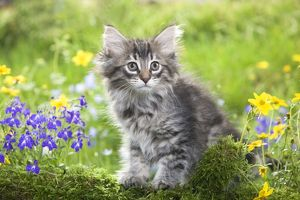 LA-5782 Cat - 8 week old Norwegian Forest kitten with flowers