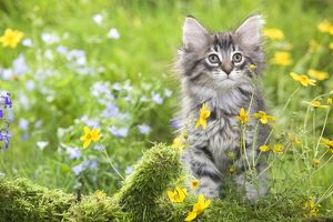 LA-5783 Cat - 8 week old Norwegian Forest kitten with flowers