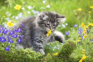 LA-5784 Cat - 8 week old Norwegian Forest kitten sniffing flowers