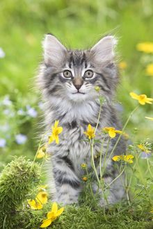 LA-5785 Cat - 8 week old Norwegian Forest kitten with flowers