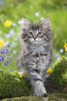 LA-5786 Cat - 8 week old Norwegian Forest kitten with flowers