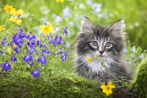 LA-5787 Cat - 8 week old Norwegian Forest kitten with flowers
