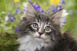 LA-5788 Cat - 8 week old Norwegian Forest kitten with flowers