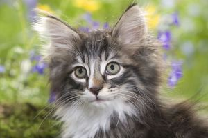 LA-5789 Cat - 8 week old Norwegian Forest kitten with flowers