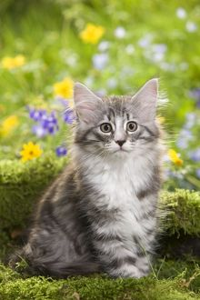 LA-5790 Cat - 8 week old Norwegian Forest kitten with flowers