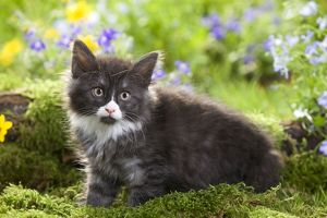 LA-5791 Cat - 8 week old Norwegian Forest kitten with flowers