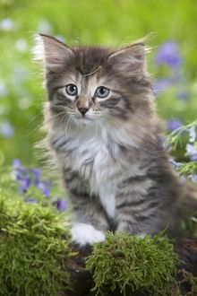 LA-5792 Cat - 8 week old Norwegian Forest kitten with flowers