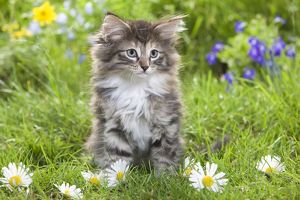 LA-5793 Cat - 8 week old Norwegian Forest kitten with flowers