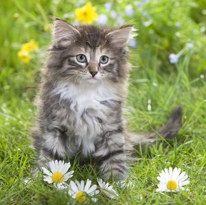 LA-5794-C Cat - 8 week old Norwegian Forest kitten with flowers