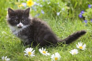 LA-5795 Cat - 8 week old Norwegian Forest kitten with flowers