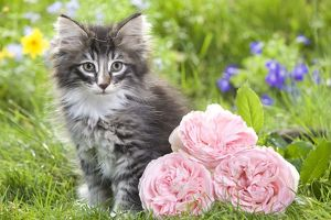 LA-5796 Cat - 8 week old Norwegian Forest kitten with flowers