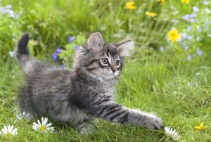 LA-5799 Cat - 8 week old Norwegian Forest kitten with flowers