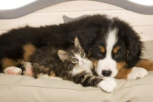 LA-5810 Dog - Bermese Mountain Dog puppy with kitten on dog bed