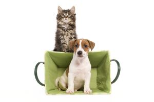 LA-5813 Dog - Jack Russell Terrier puppy in basket with Norwegian Forest Cat kitten