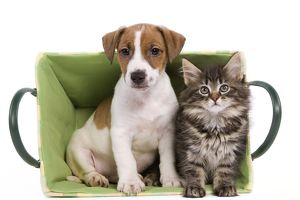 LA-5814 Dog - Jack Russell Terrier puppy with Norwegian Forest Cat kitten sitting