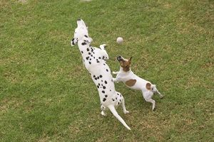 LA-5818 Dog - Dalmatian & Jack Russell Terrier playing with tennis ball