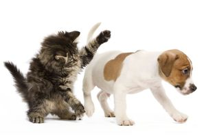 LA-5820 Cat - Norwegian forest kitten playing with Jack Russell Terrier puppy in Studio