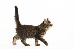 LA-5843 Cat - Norwegian Forest kitten in studio. Side view