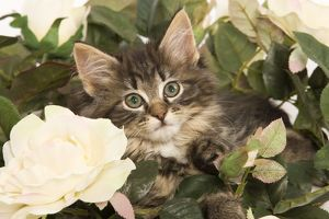 LA-5844 Cat - Norwegian Forest kitten in studio with flowers