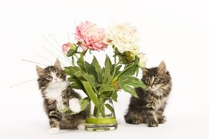 LA-5845 Cat - Norwegian Forest kittens in studio with vase of flowers