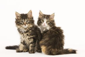 LA-5846 Cat - Norwegian Forest kittens two in studio