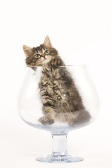 LA-5847 Cat - Norwegian Forest kitten in large wine glass