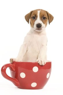LA-5855 Dog - Jack Russell Terrier puppy in a red & white spotted mug