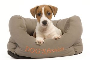 LA-5856 Dog - Jack Russell Terrier puppy in dog bed