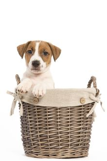 LA-5857 Dog - Jack Russell Terrier puppy in basket