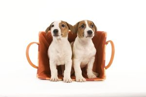 LA-5858 Dog - two Jack Russell Terrier puppies in basket