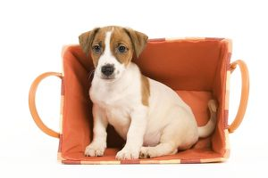 LA-5859 Dog - Jack Russell Terrier puppy in basket