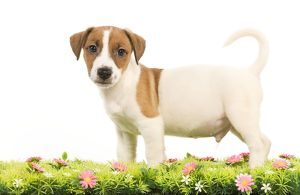 LA-5860 Dog - Jack Russell Terrier puppy with flowers