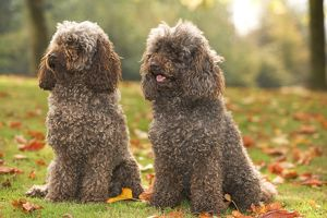 LA-5868 Dog - two Standard Poodle