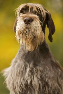 LA-5878 DOG - Wire-haired Pointing Griffon / Korthals Griffon