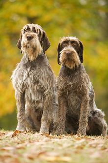 LA-5879 DOG - Wire-haired Pointing Griffon / Korthals Griffon