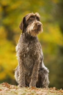 LA-5880 DOG - Wire-haired Pointing Griffon / Korthals Griffon