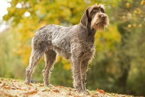 LA-5881 DOG - Wire-haired Pointing Griffon / Korthals Griffon