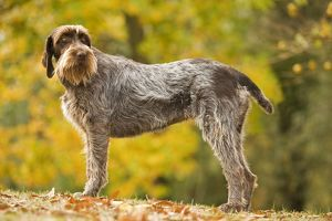 LA-5882 DOG - Wire-haired Pointing Griffon / Korthals Griffon