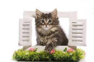 LA-5910 Cat - Norwegian Forest Cat kitten looking through shutters with flowers.