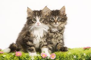 LA-5911 Cat - Norwegian Forest Cat kittens with flowers