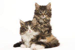 LA-5912 Cat - Norwegian Forest Cat kittens